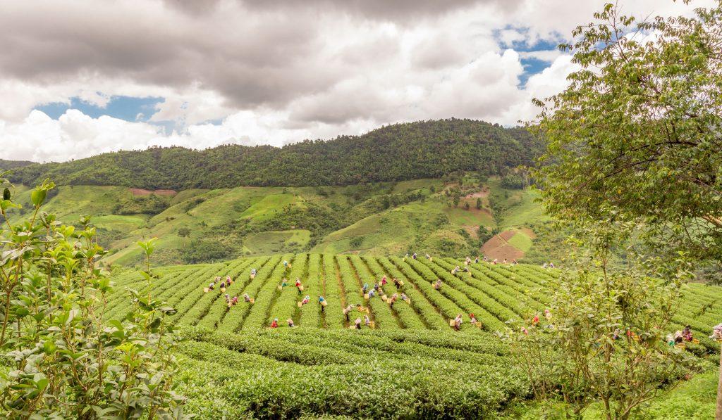 حقول الشاي في تايلندحقول الشاي في تايلند