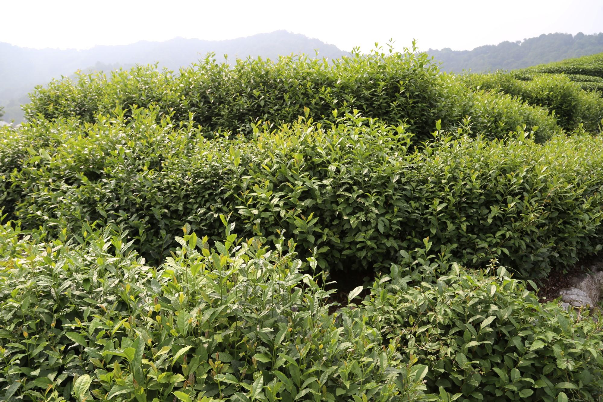 صور حقول الشاي في هانغتشو
