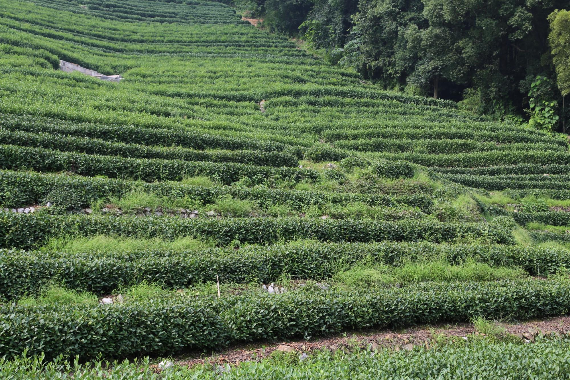 حقول الشاي في هانغتشو