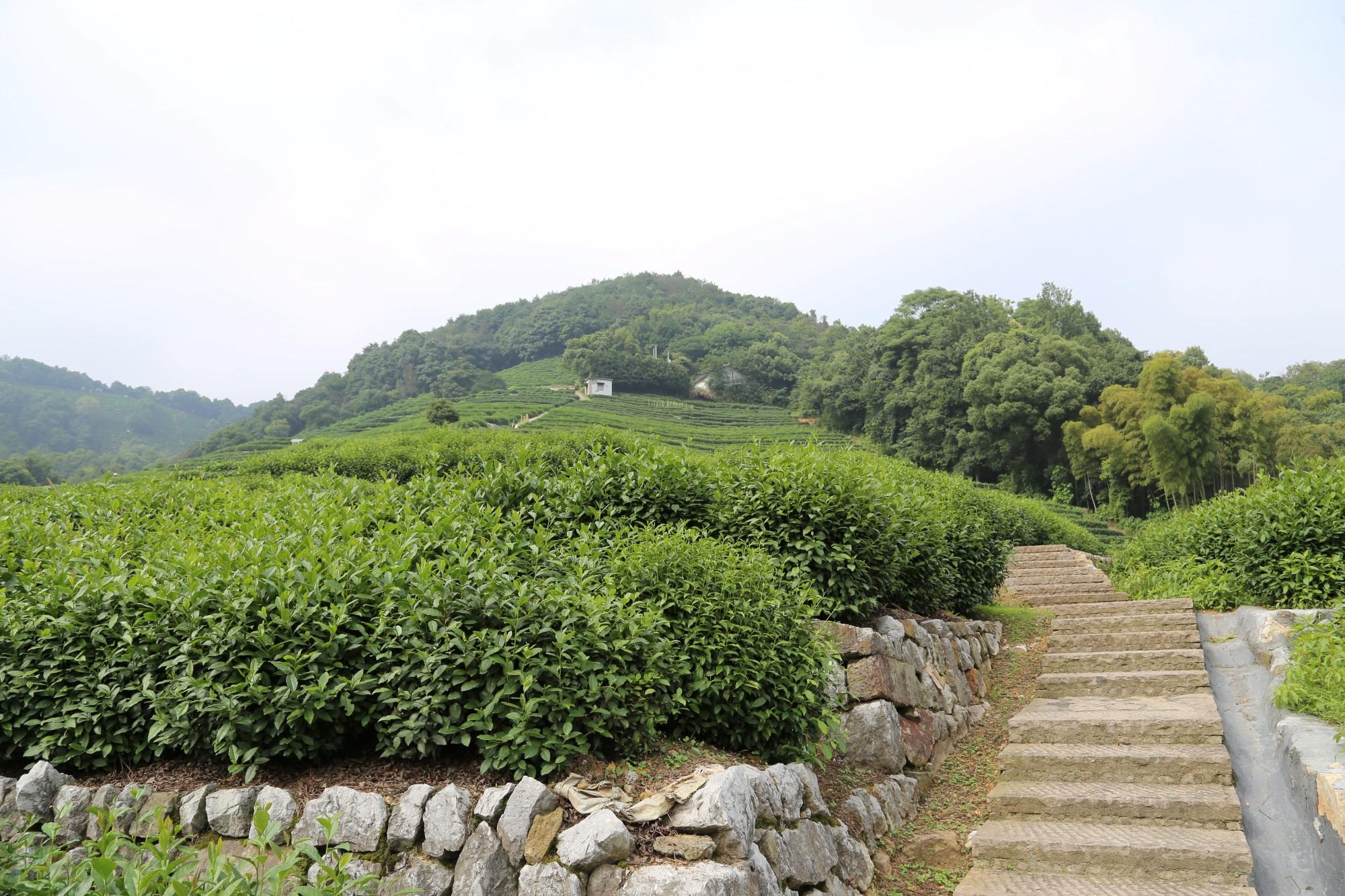 مزارع الشاي في الصين