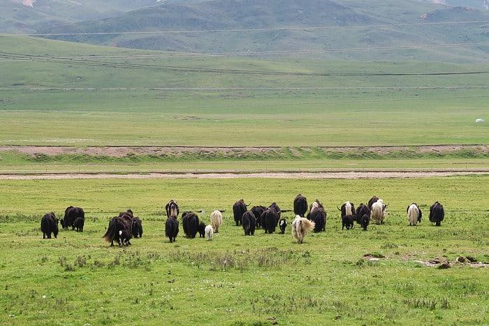حيوان الياك في التبت