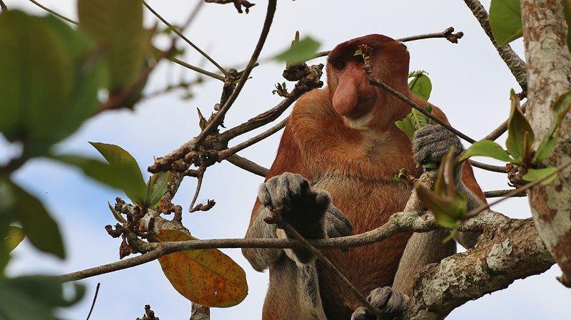 القرود ذات الخرطوم